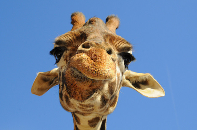 Did you know? Giraffes make sounds – The Pine Needle